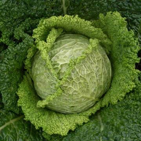 Cabbage Mix - Chieftain Savoy & April Green (Pack of 4)