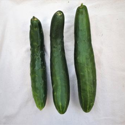Cucumber - Shintokiwa
