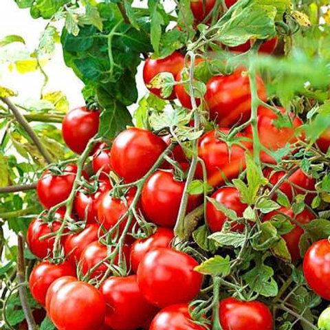 Tomato - Rideau Sweet Grape