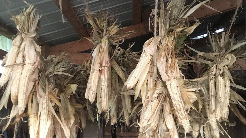 Oneida White Flint Corn Seeds