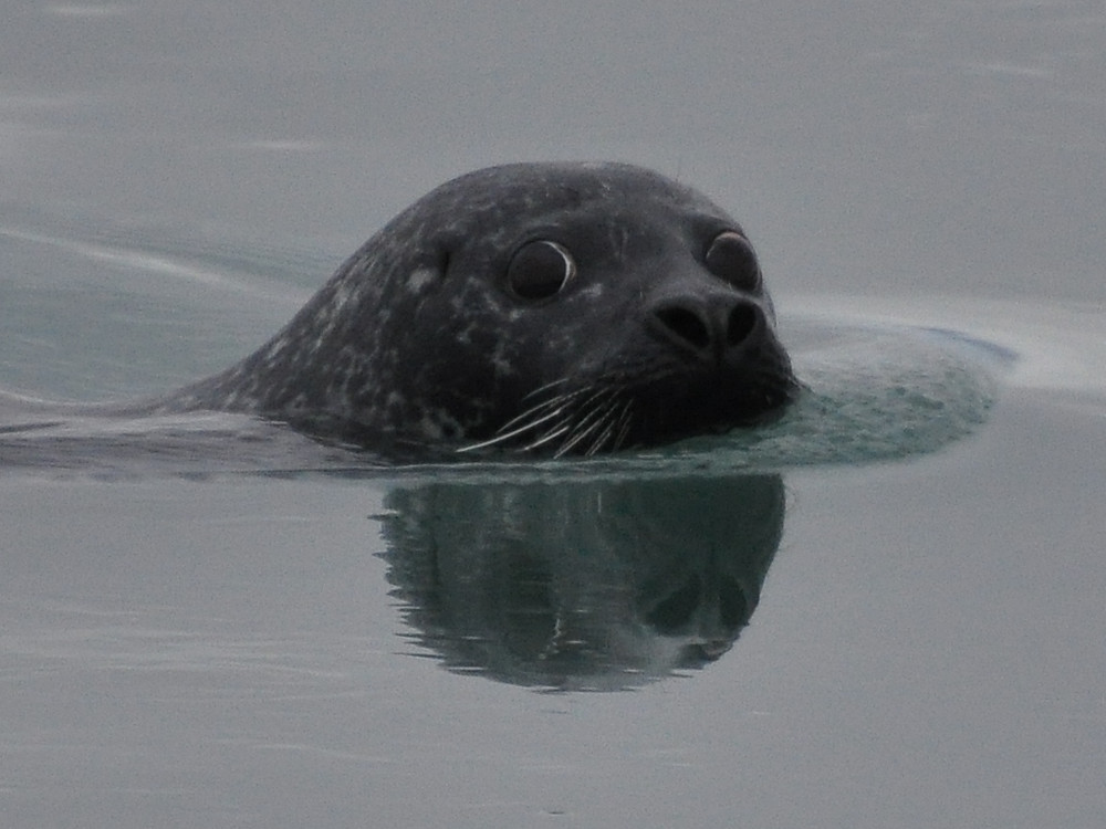 A photo of a seal's head just poking above the water looking at the camera