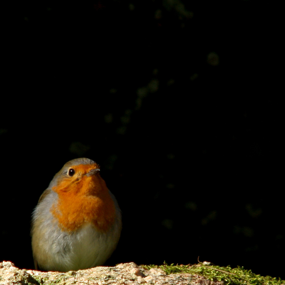 A picture of a European robin (a songbird with an orange face and neck, white chest, and brown back and head) against a dark background sitting on some rocks.