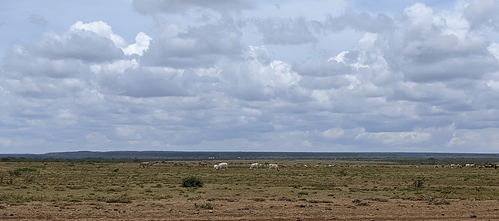 A photo showing open flat grassland with a few small bushes and white and brown cows grazing in the mid distance, under a partially cloudy sky.