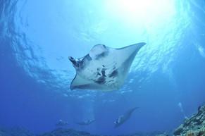 มัลดีฟส์ ดำน้ำตามดูปลากระเบนที่ใหญ่ที่สุดในโลก