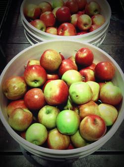 Hilltop 7 Farm's fall apple Harvest