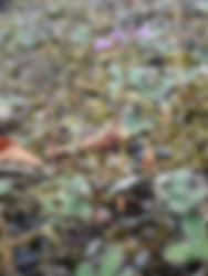 Clinopodium acinos.jpg