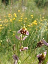 Ophrys abeille (Ophrys apifera).jpg