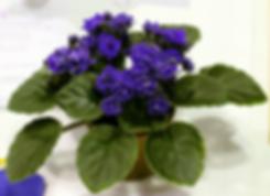 Ness' Crinkle Blue - AVSA Conv 2019 Hous