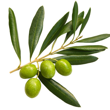Azeitonas, frutos da Oliveira