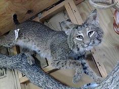 Taxidermy | North American Mammals | Katy, TX