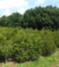 生産圃場,畑,チョウセンヒメツゲ