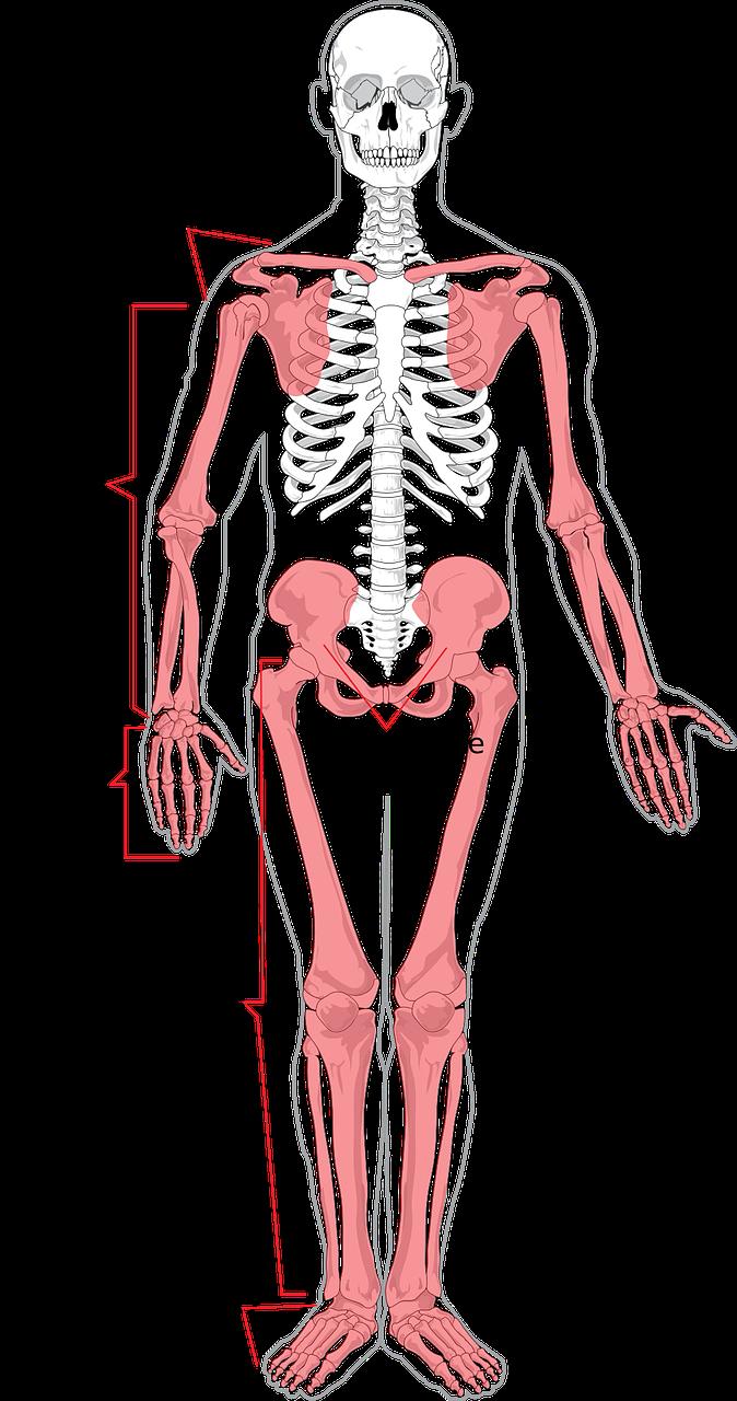 מפרק אגן ושכמות