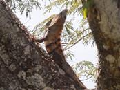 NP33.27-natural-pact_conservaci¢n_iguana