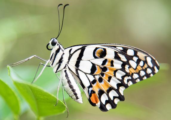 Natural-Pact_Papillon_2.jpg