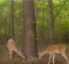 2 deer - 1lb.JPG