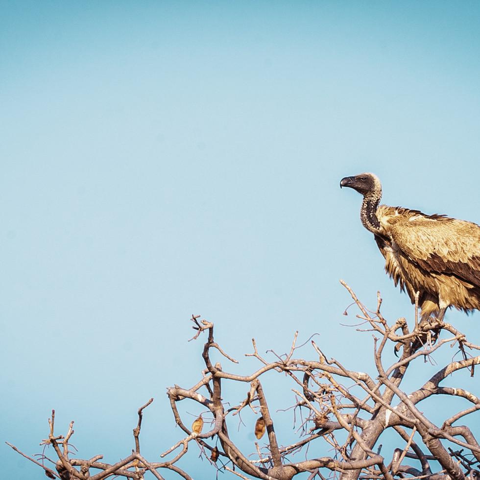 vulture-.jpg