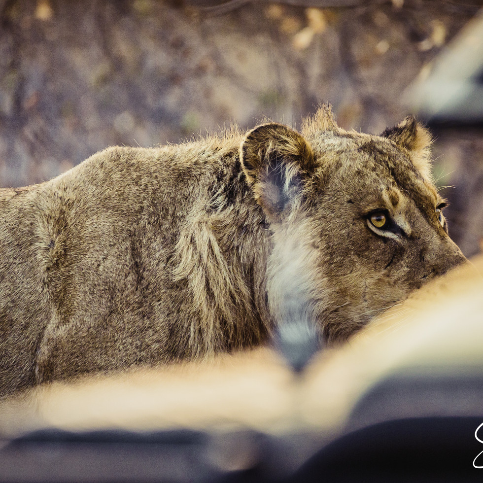 Lion in early morning-.jpg