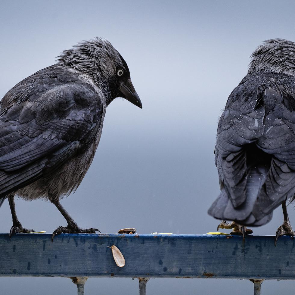 Ravens on a rail--3.jpg