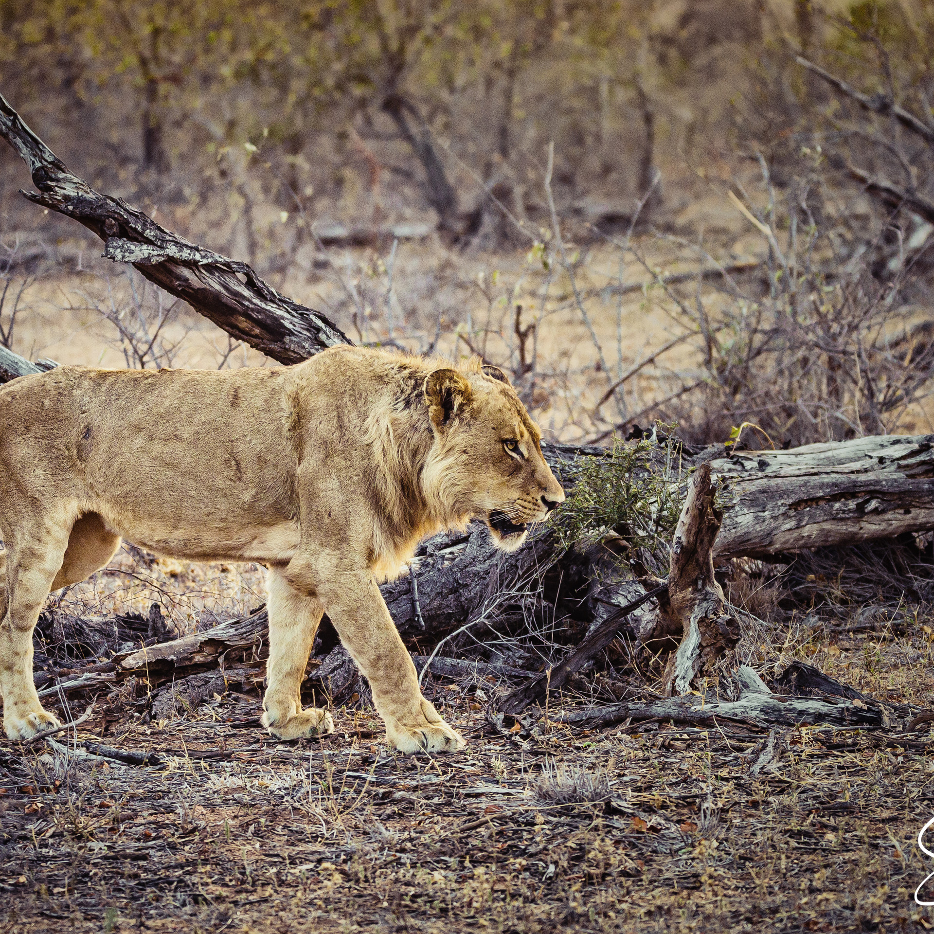 Lion in early morning--2.jpg