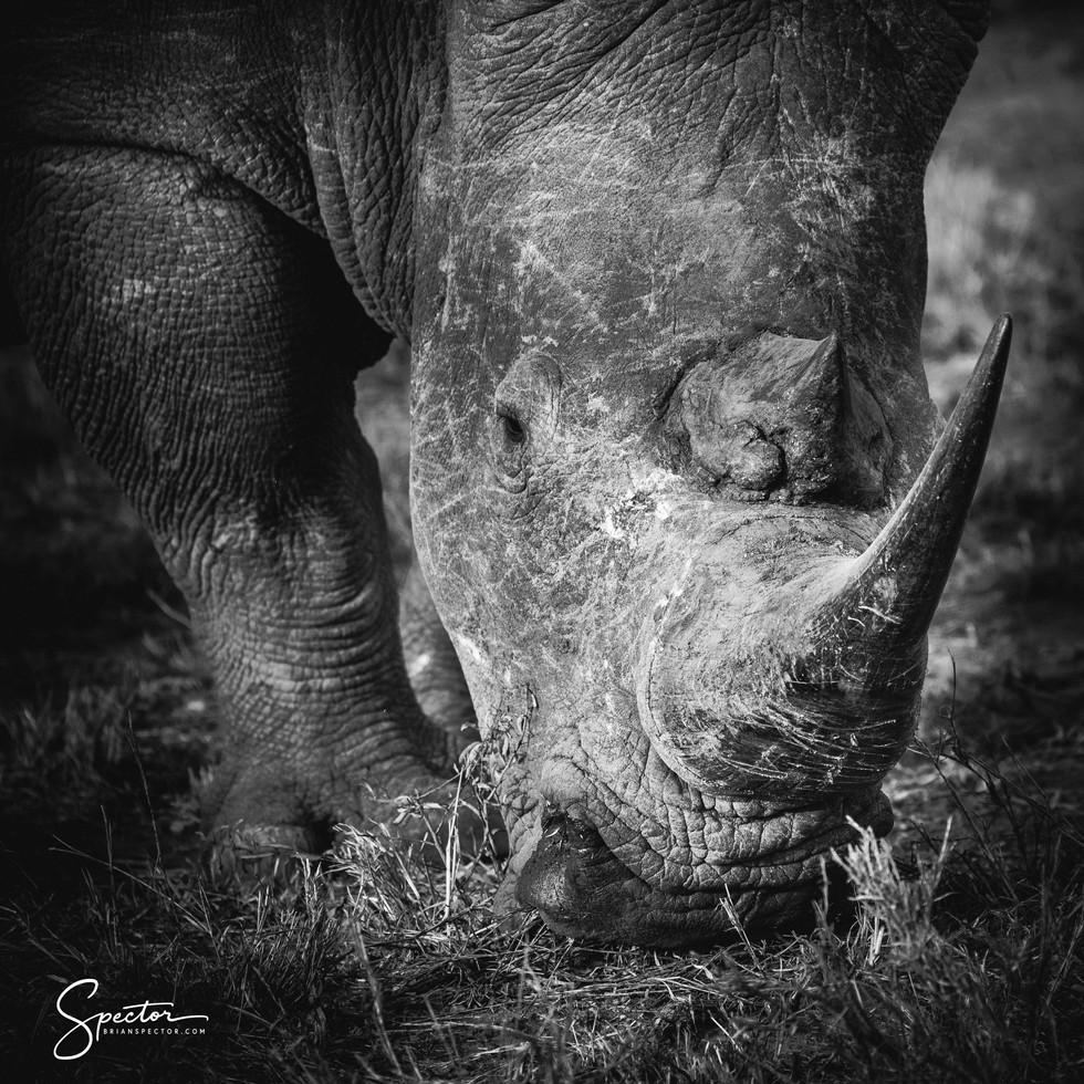 rhino portrait-0274.jpg