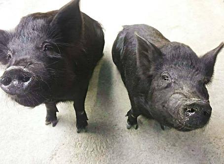 沖繩美食 Agu豬
