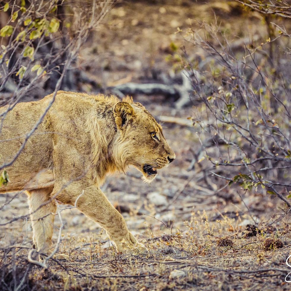 Lion in early morning--3.jpg