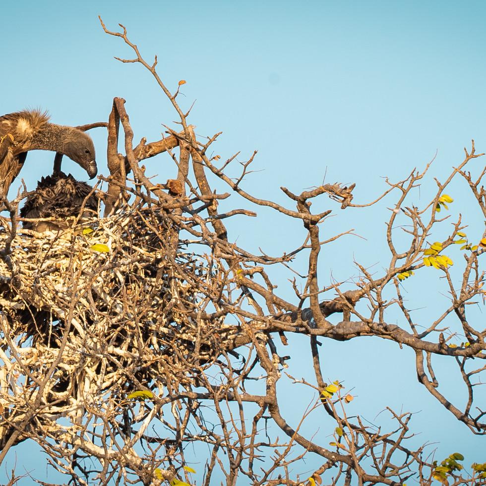 African vulture-2207.jpg
