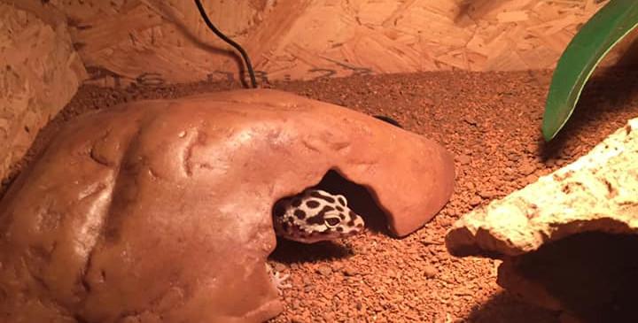 Nawa, gecko léopard