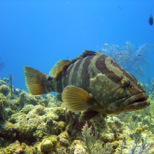 Nassau Grouper 1 10.5.04.jpeg