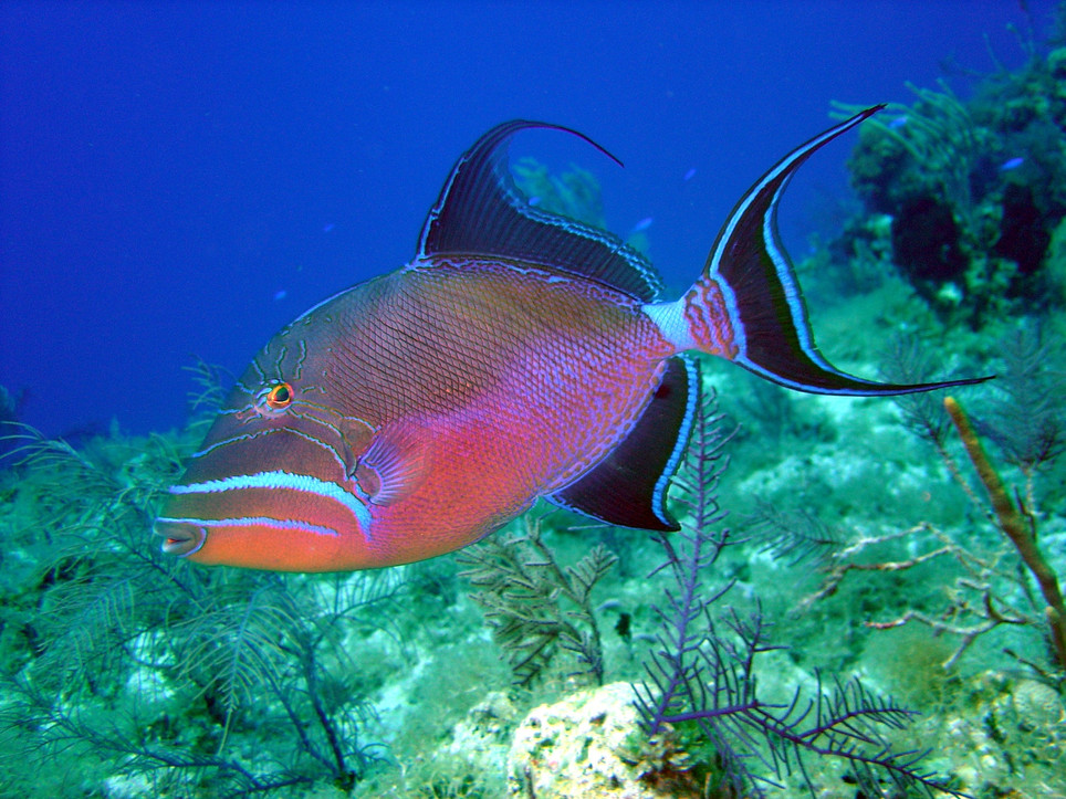 Queen triggerfish B4 13.4.04.jpeg