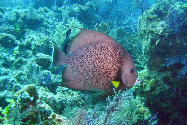 Grey angelfish 2.6.04.jpg.jpeg