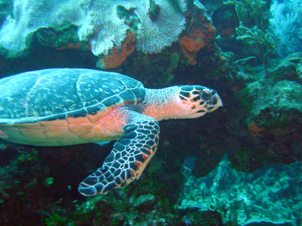 Hawksbill turtle 1 16.4.04.jpeg