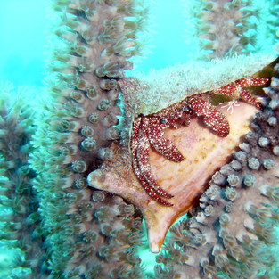 Hermit crab in Sea Rods 6.4.04.jpeg