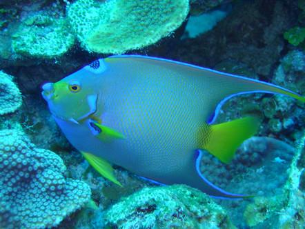 Queen angelfish 2 10.4.04.jpg.jpeg