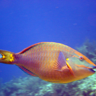 StoplightParrotfish3.7.03.jpeg