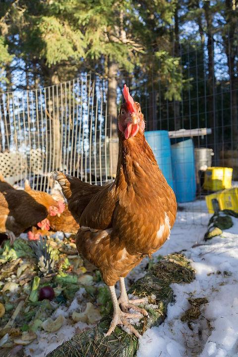 Chicken roamer.jpg