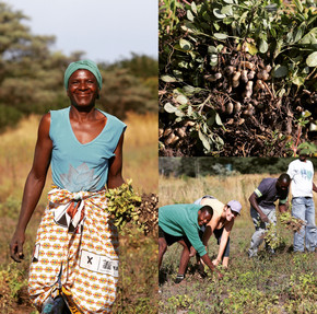 Harvesting groundnuts for peanut butter