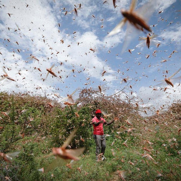 Beyond Covid-19 Health Security: A look at East Africa's Locust Infestation and Food Security.