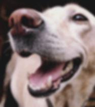 labrador-retriever-dog-662417.jpg