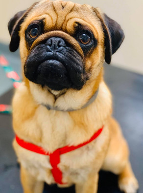 What to do with retained testicles (canine cryptorchidism)?