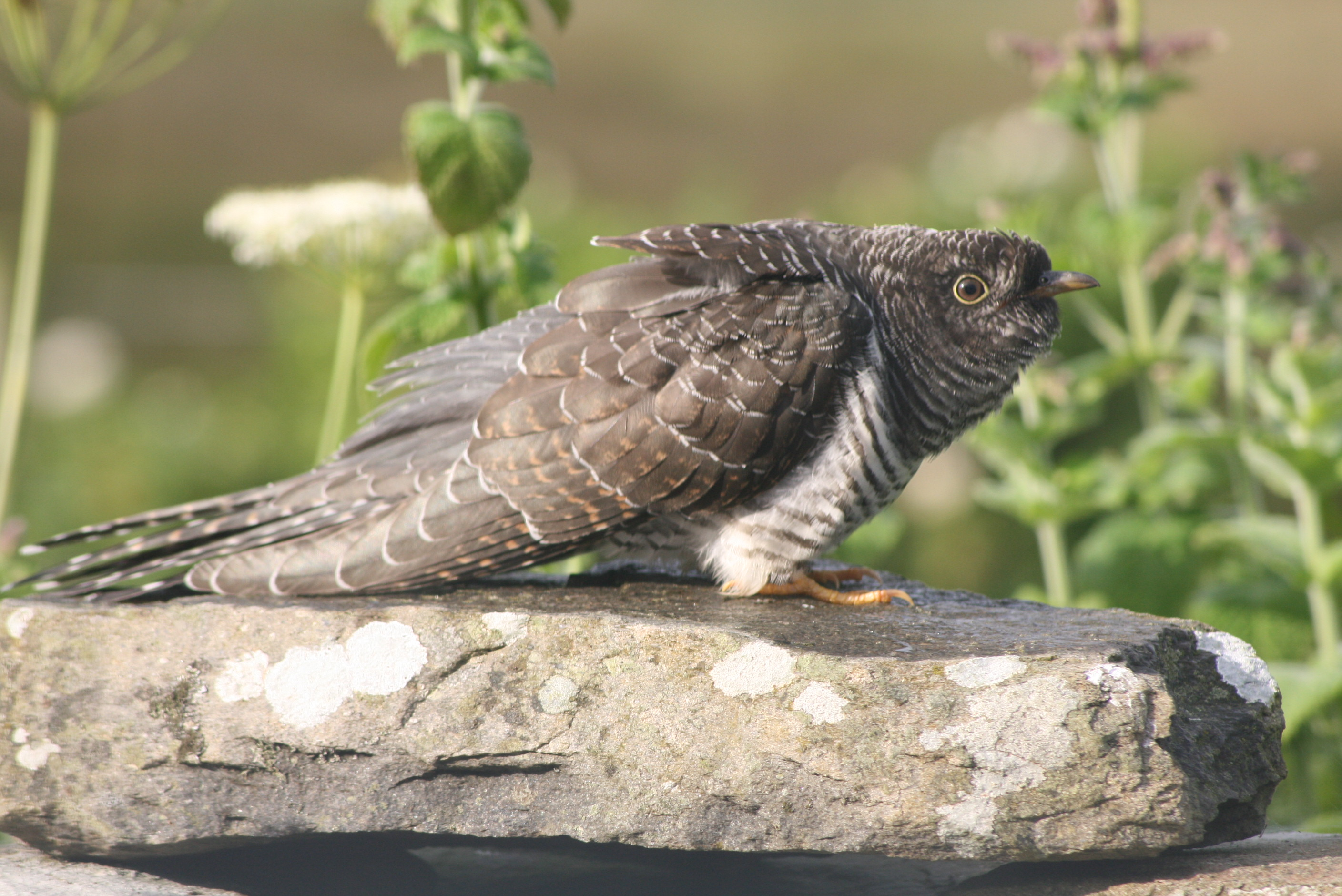 cuckoo on the garden wall
