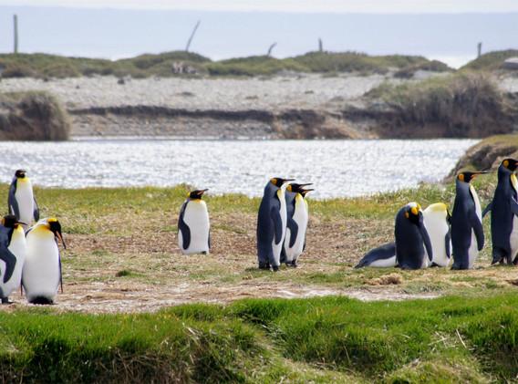 Pinguino Rey-Bahía Inútil