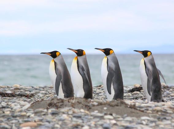 pinguino rey 1.jpg