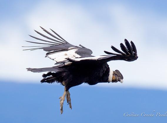 Macho adulto patas abajo cielo.jpg