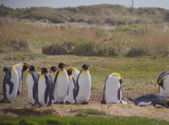 Pinguino Rey 1