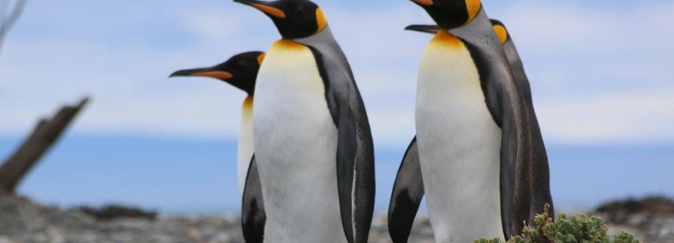 pinguino rey 2.jpg
