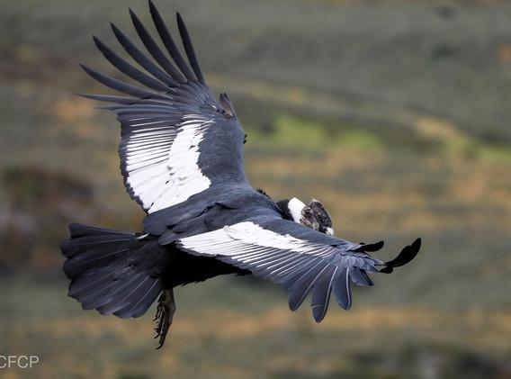 Condor macho 04 2020.JPG