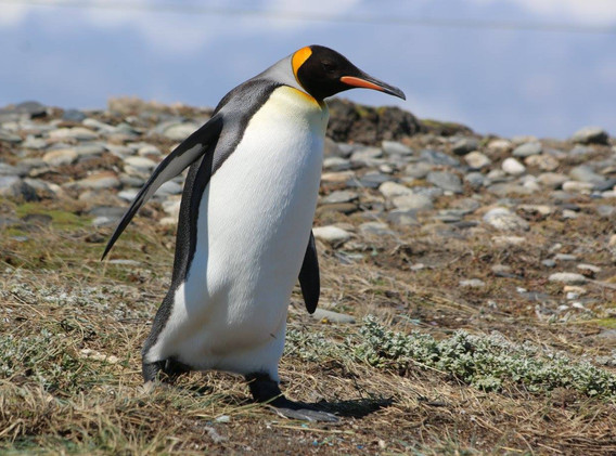 pinguino rey 3.jpg