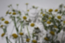 chamomile-detail.jpg