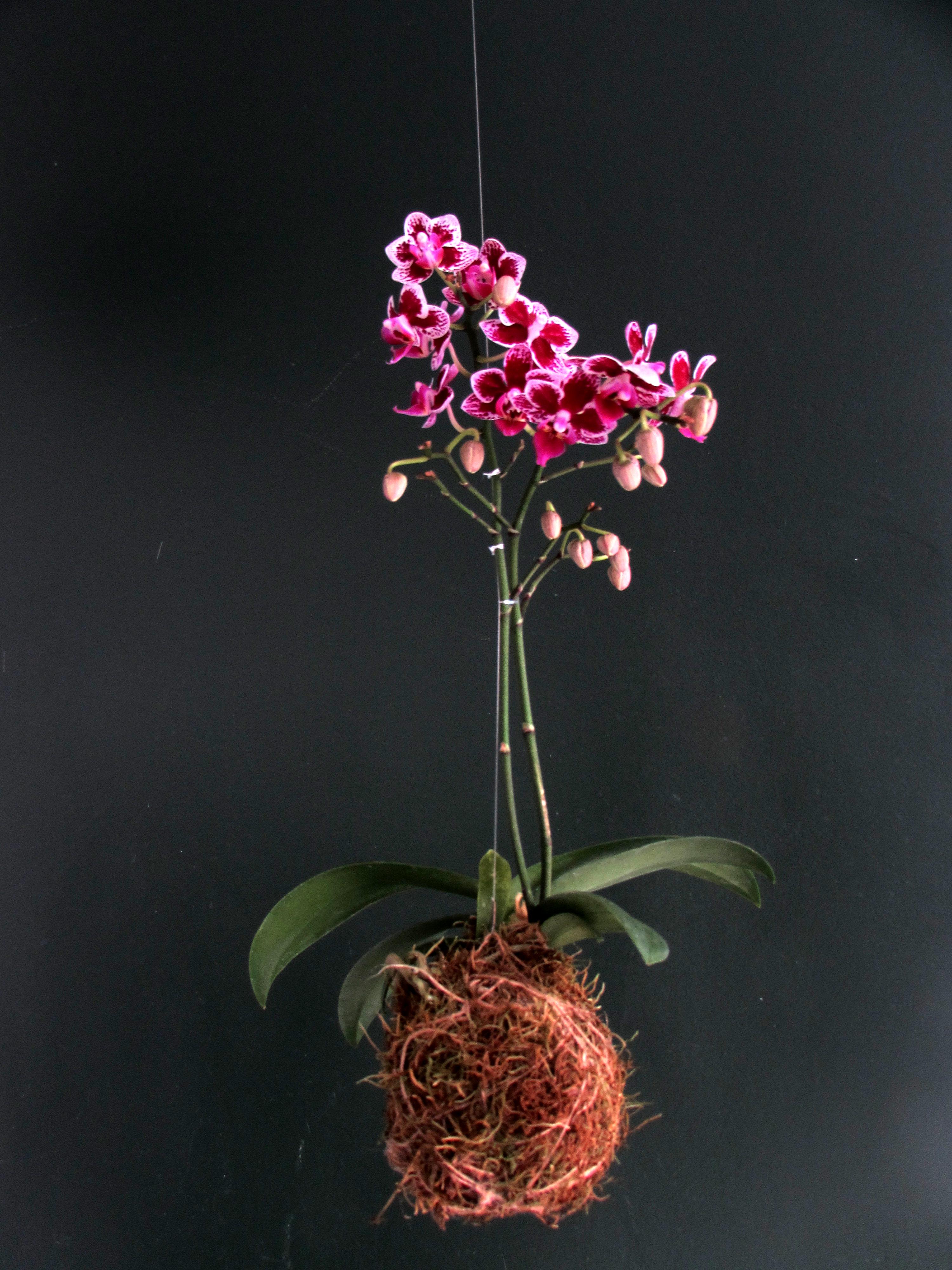 kokedama mini phalaenopsis
